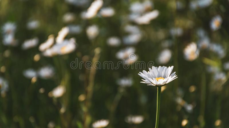 Wild white daisy flowers. Wild daisy flowers lightened by the evening sun  in a small field royalty free stock image