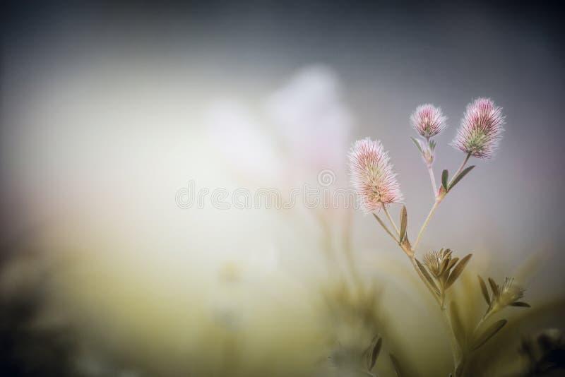 Wild flowers on dusk fog nature background. Trifolium arvense. Wild flowers on dusk fog nature background. Trifolium arvense, outdoor royalty free stock image
