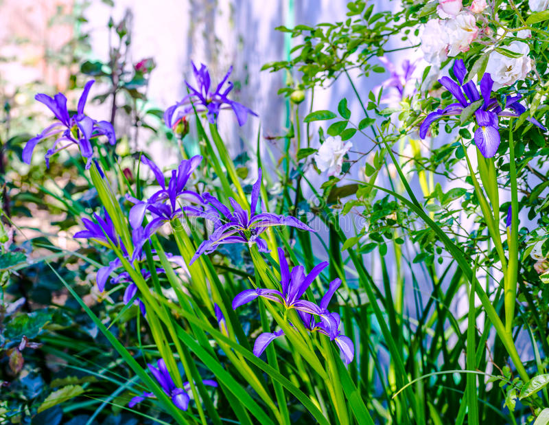Wild flowers of the dwarf or low iris Iris pumila is a species of perennial herbaceous stock image