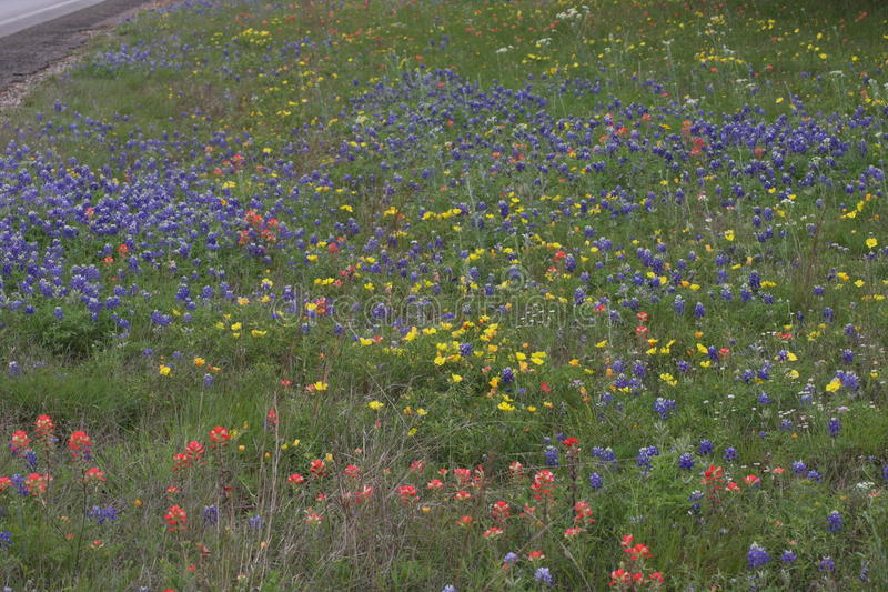 Wild Flowers in the fields of South Texas. Burnet Texas wild flowers on the Central Texas Blue Bonnet Trail stock photo