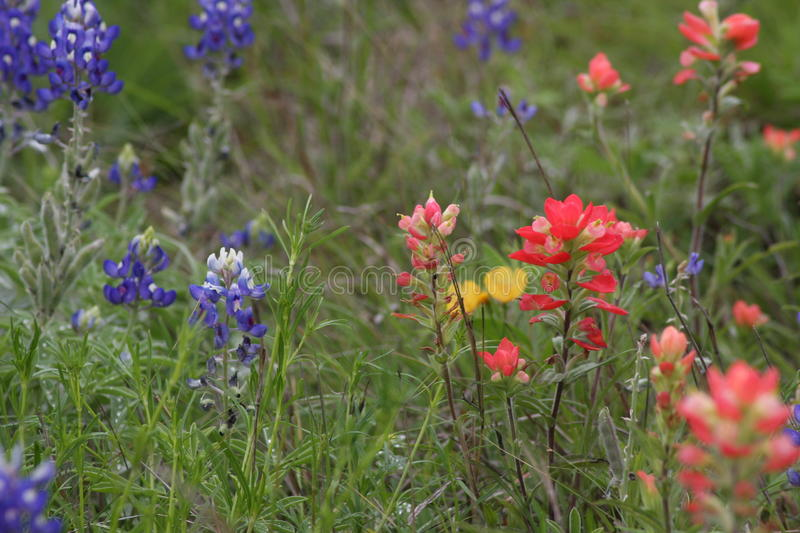 Wild Flowers in the fields of South Texas. Burnet Texas wild flowers on the Central Texas Blue Bonnet Trail stock images