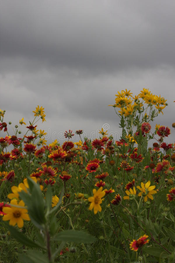 Wild Flowers in the fields of South Texas. Burnet Texas wild flowers on the Central Texas Blue Bonnet Trail royalty free stock image
