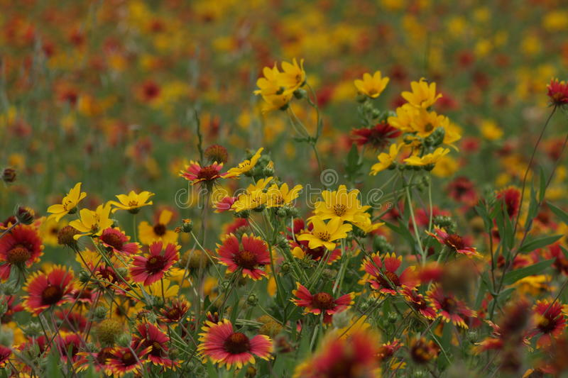 Wild Flowers in the fields of South Texas. Burnet Texas wild flowers on the Central Texas Blue Bonnet Trail stock photography