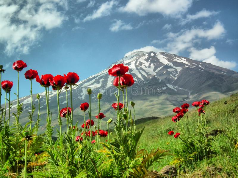 Damavand and Papaver flowers, Iran. Wild flowers in footsteps of Mount Damavand, the highest peak in Iran and semi active volcano royalty free stock images