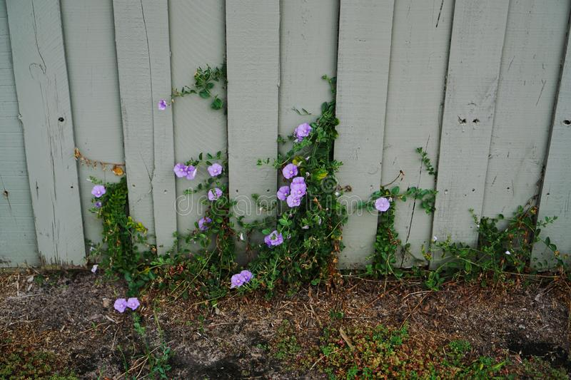 Wild flowers growing out of fence royalty free stock images