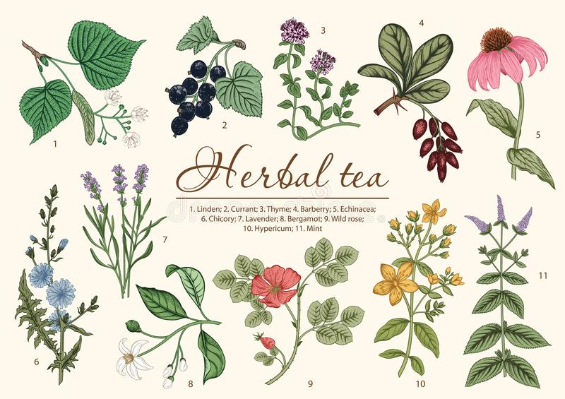 Wild flowers. Herbal tea. Vector illustration. royalty free stock image