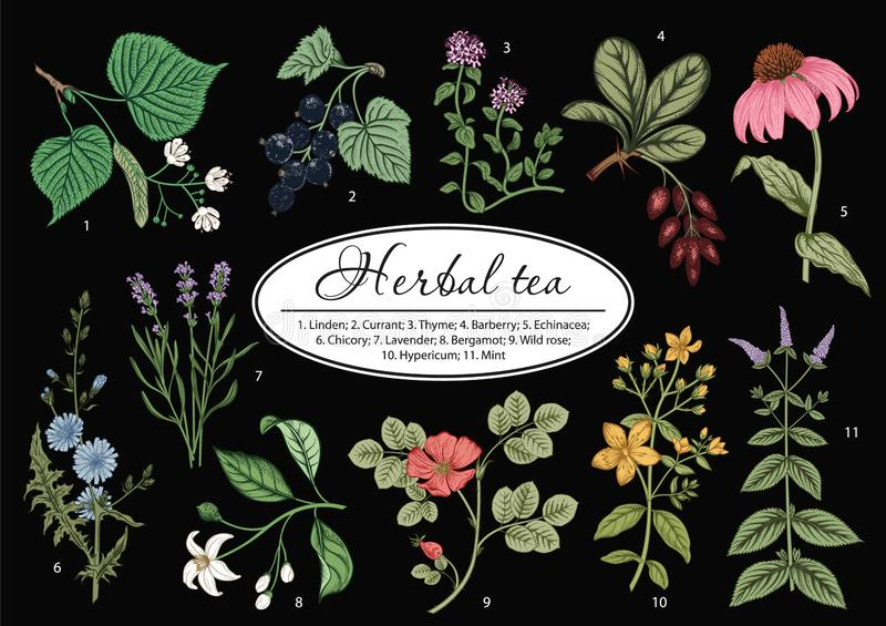 Wild flowers. Herbal tea. Vector illustration. royalty free stock photography