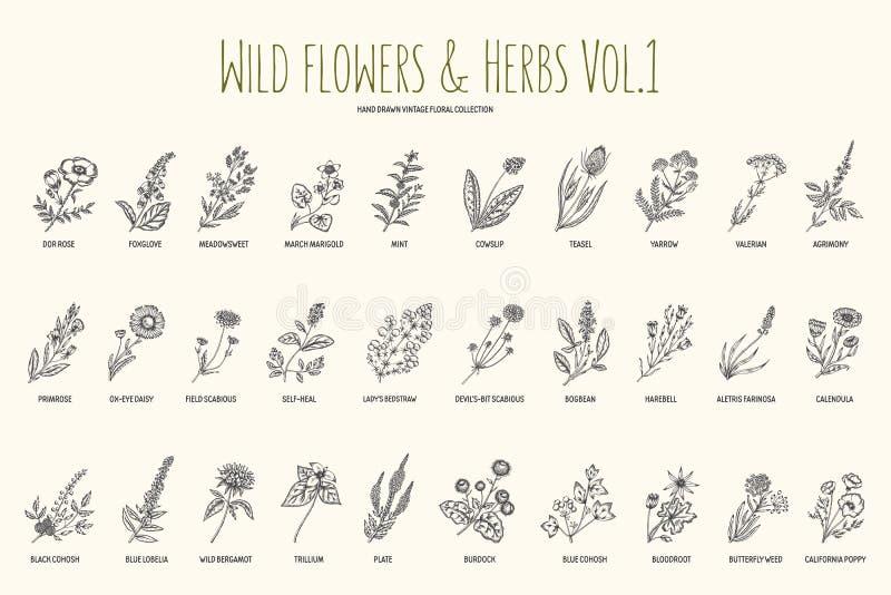 Wild flowers and herbs hand drawn set. Volume 1. Botany. Vintage flowers. Vintage vector illustration. Wild flowers and herbs hand drawn set. Volume 1. Botany royalty free illustration