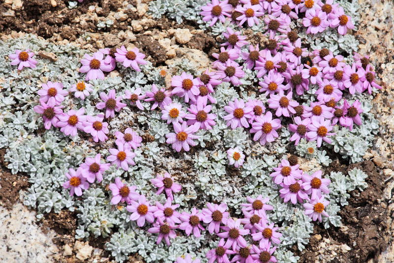 Download Wild Flowers Of High Altitude, Himalayas Stock Photo - Image: 21706146