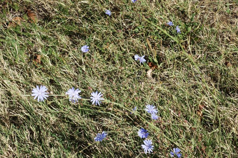 Wild flowers in the hilly area of Dobrogea. Common chicory Cichorium intybus blue flower, we find it in pastures and meadows, on the edge of roads, railways stock image