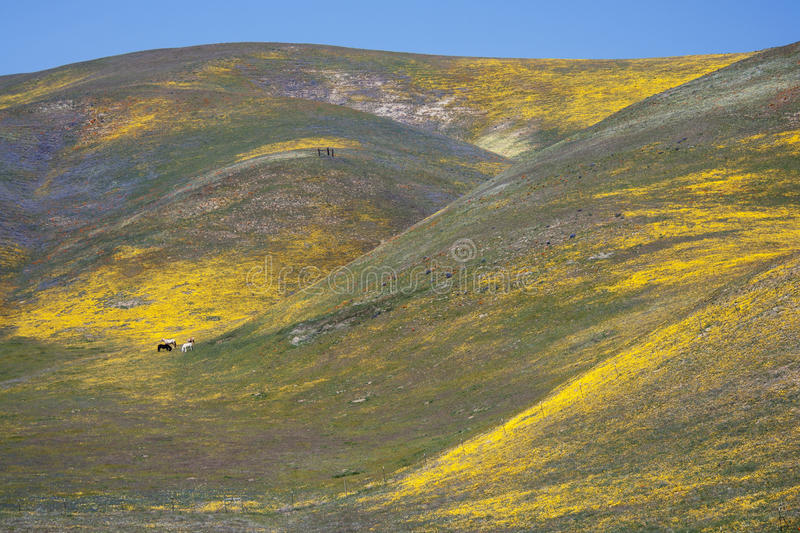 Wild Flowers, Horses and Hills in California