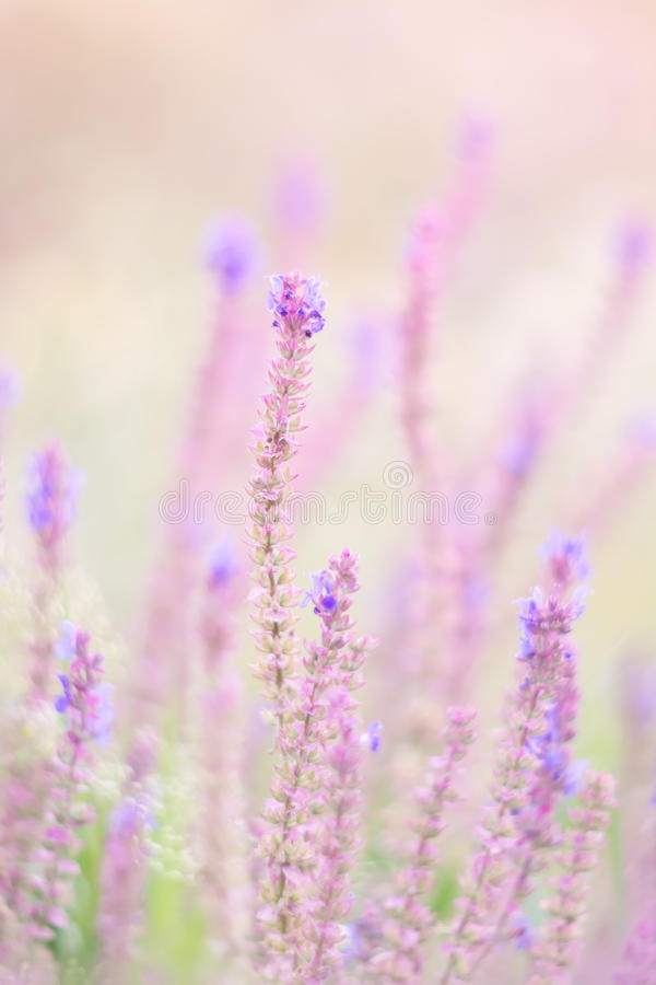 Wild flowers of the lilac color with the soft colors. The pastel shades . stock photos