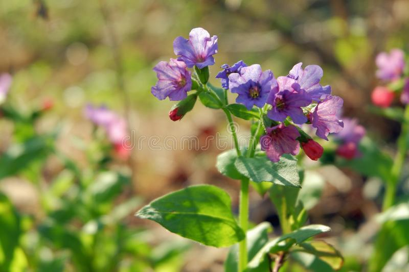 Wild flowers of lilac color on a sunny day.  royalty free stock photos