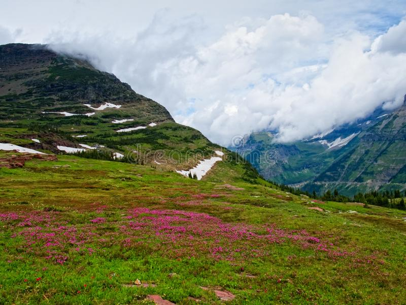 Wild flowers in Logan Pass, Glacier National Park. Montana, USA royalty free stock photo