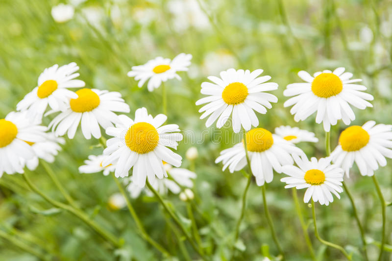 Wild flowers. Meadow of wild Chamomile flowers stock images