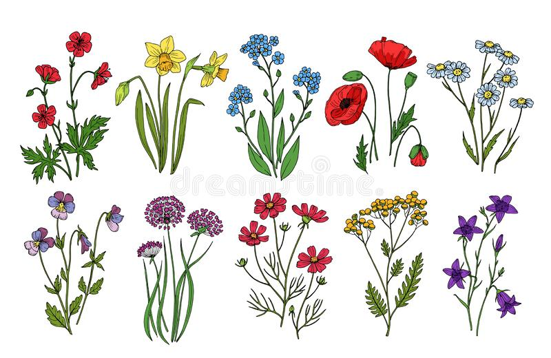 Wild flowers. Meadow plants monkshood thistle poppy. Wildflower vector botanic collection isolated on white background vector illustration
