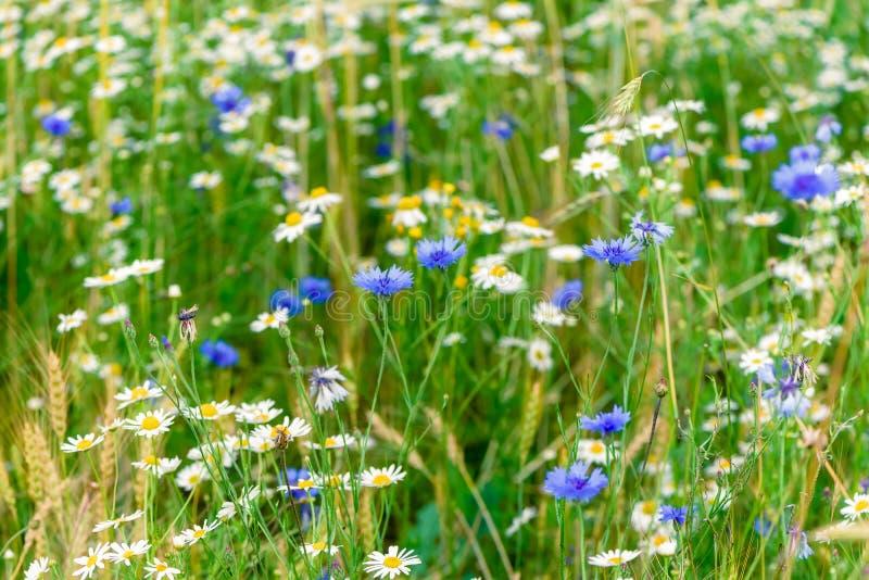 Wild flowers on meadow. Summer day on field of grass. Russian field, summer landscape, cornflowers and chamomiles. Wild flowers on the meadow. Summer day on the stock photo