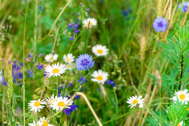 Wild flowers on meadow. Summer day on field of grass. Russian field, summer landscape, cornflowers and chamomiles royalty free stock image