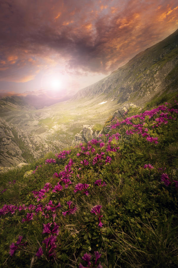 Wild flowers on the mountain top at sunset. Composite landscape with high wild grass and purple flowers on the top of high mountain in sunset light with rainbow royalty free stock photo