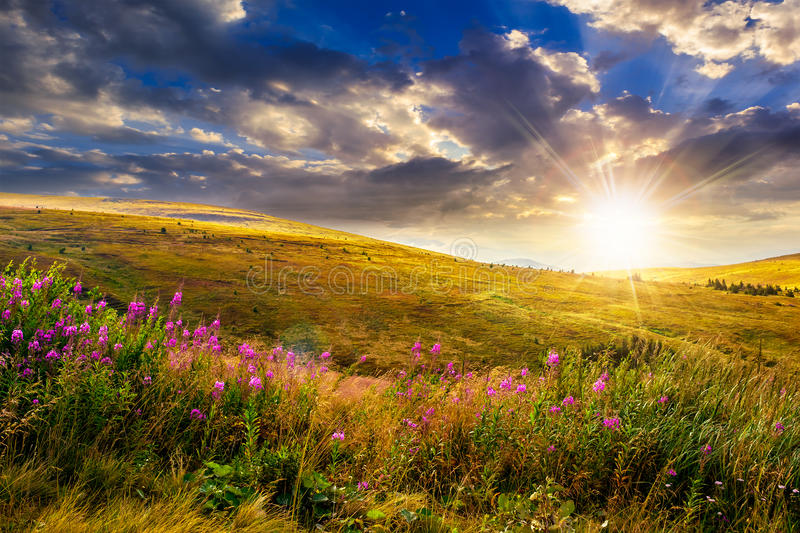 Wild flowers on the mountain top at sunset royalty free stock image