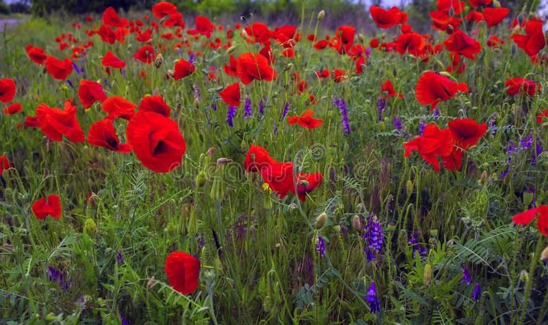 Wild flowers poppies in the field royalty free stock photos