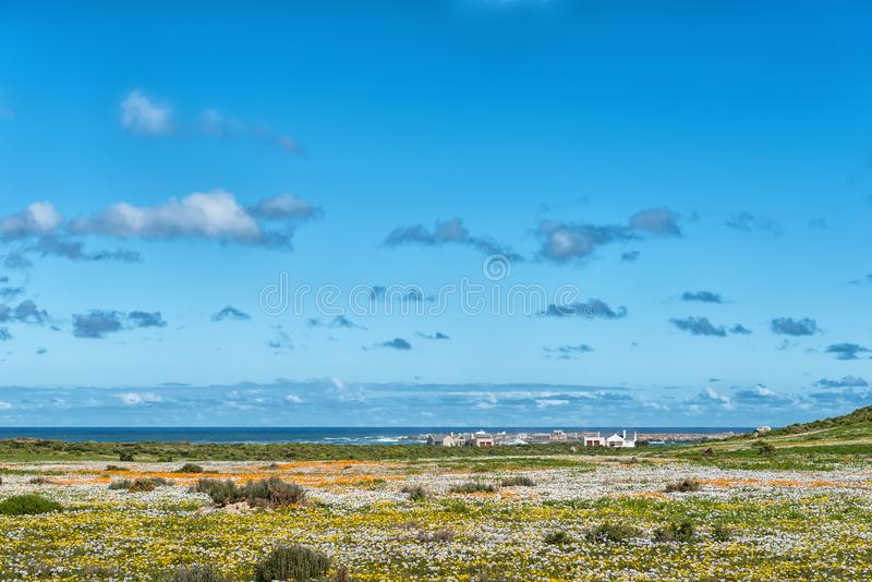Wild flowers at Postberg near Langebaan on the Atlantic coast stock image