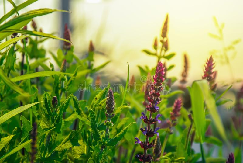 Wild flowers purple fresh summer close at sunset flare tall bushes reed royalty free stock photography