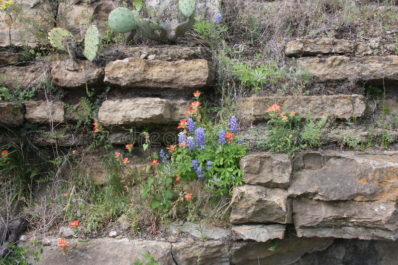 Wild Flowers in the rocks of South Texas. Burnet Texas wild flowers on the Central Texas Blue Bonnet Trail royalty free stock image