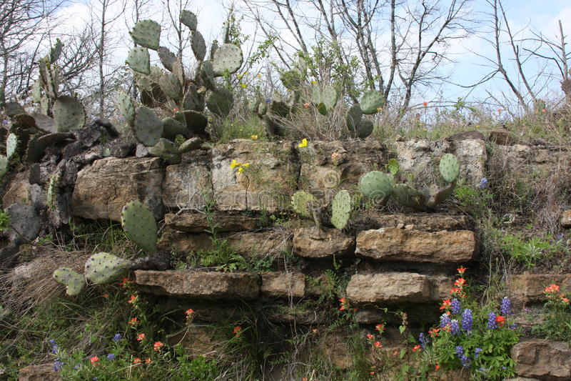 Wild Flowers in the rocks of South Texas. Burnet Texas wild flowers on the Central Texas Blue Bonnet Trail stock photos