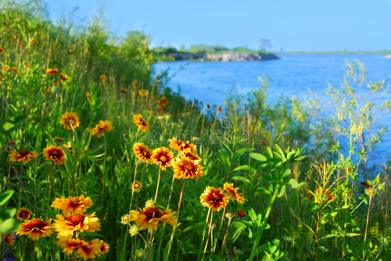 Download Wild flowers on seashore stock photo. Image of plant, indian - 2132008