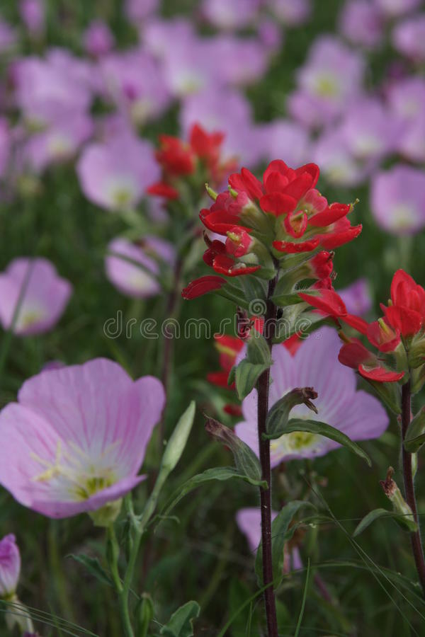Wild Flowers in South Texas. Fredericksburg Texas wild flowers on the Central Texas Blue Bonnet Trail stock photos