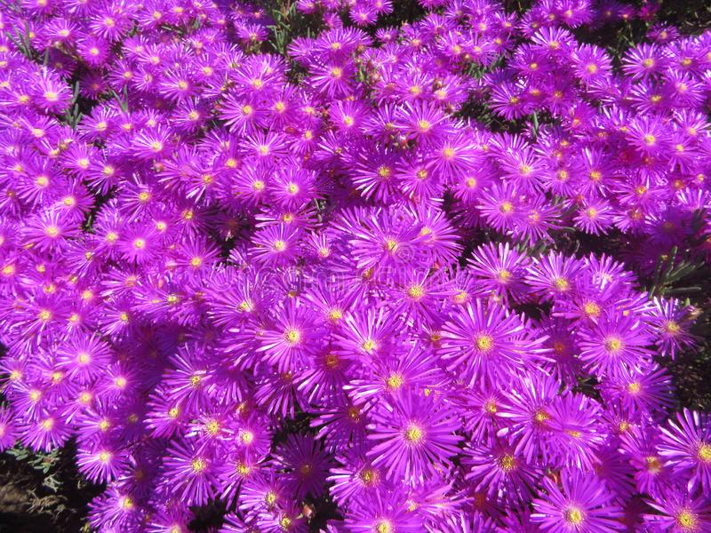 Wild Flowers in SouthAfrica Vygies. Capetown, kistenbosch, travel, purple, background, color, colour royalty free stock photo