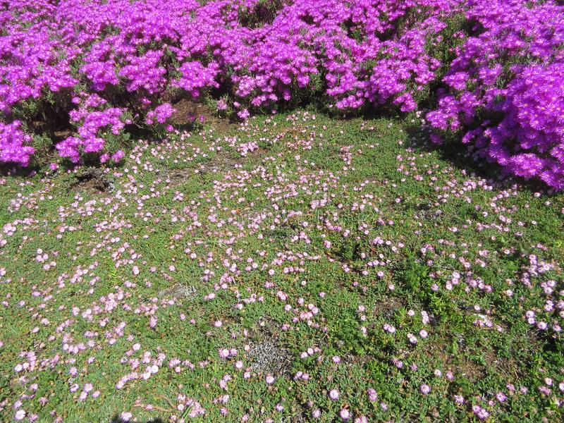 Wild Flowers in SouthAfrica Vygies. Capetown, kistenbosch, travel, purple, background, color, colour stock image