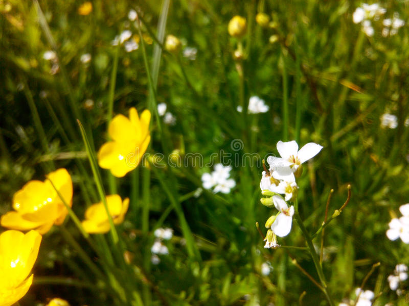 Wild flowers. Spring flowers that enchant its beauty and uniqueness. Photo of the original natural light provides a spring mood can be used as a background in royalty free stock image