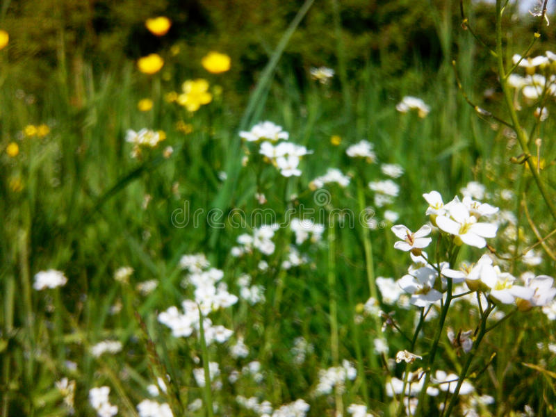 Wild flowers. Spring flowers that enchant its beauty and uniqueness. Photo of the original natural light provides a spring mood can be used as a background in royalty free stock images