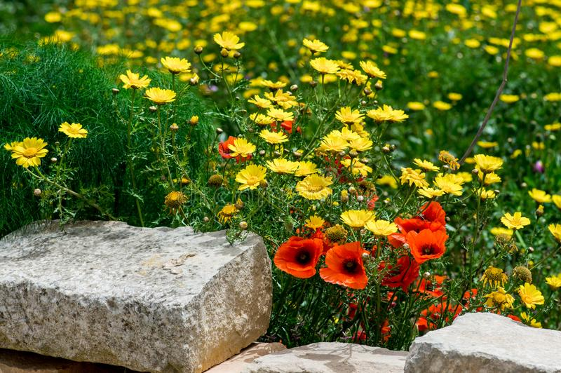 Wild flowers in spring, red poppies and yellow crown daisy stock images