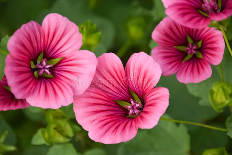 Wild flowers on a summer day malva. 3d. Spring or summer garden stock image