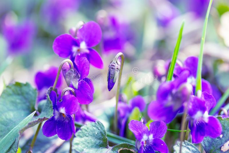 Wild flowers violets spring morning royalty free stock images