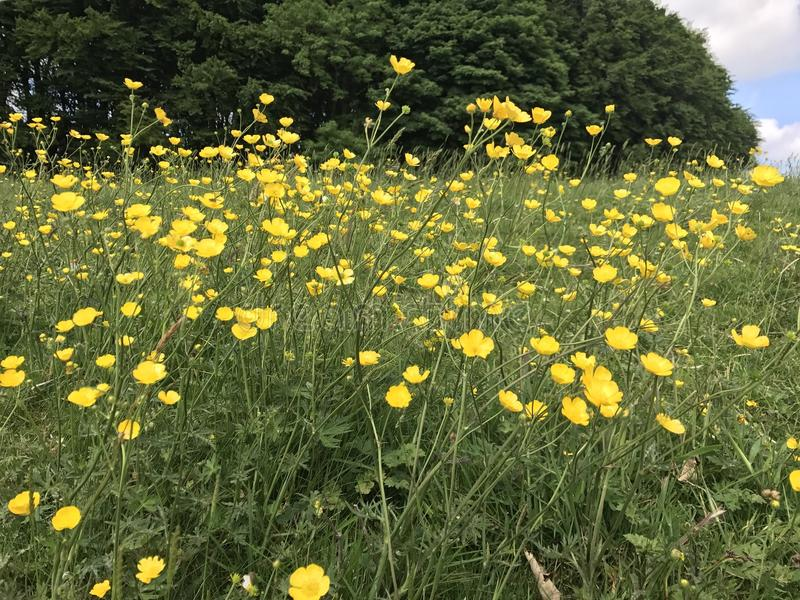 Wild flowers. Wild yellow flowers in a meadow epitome of summer stock photo