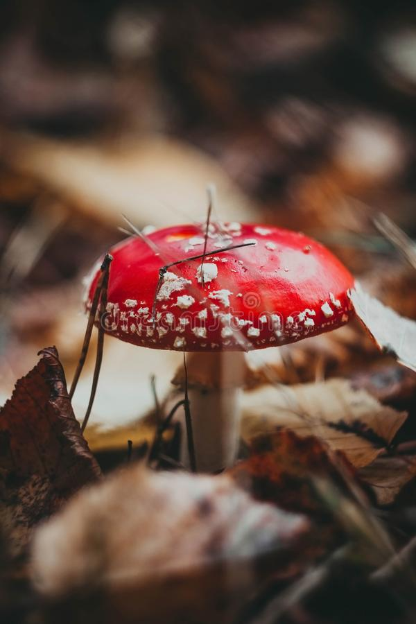 Red toadstool poisonous mushroom growth in the forest, fly agaric fungus Amanita muscaria royalty free stock image