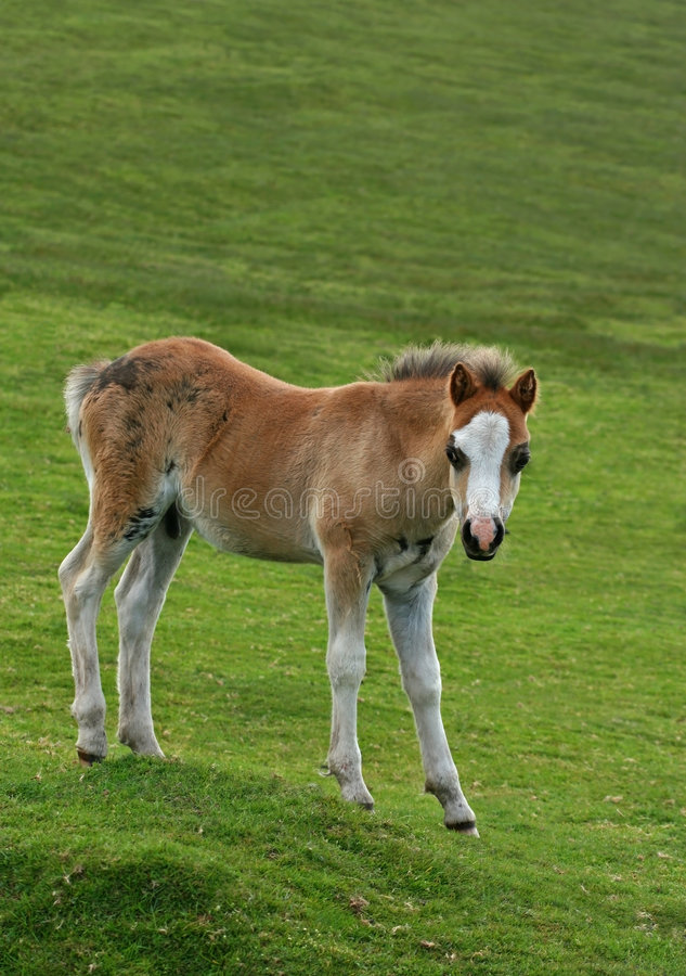 Wild Foal royalty free stock photography