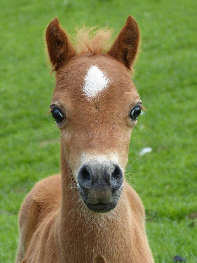 Wild foal royalty free stock photos