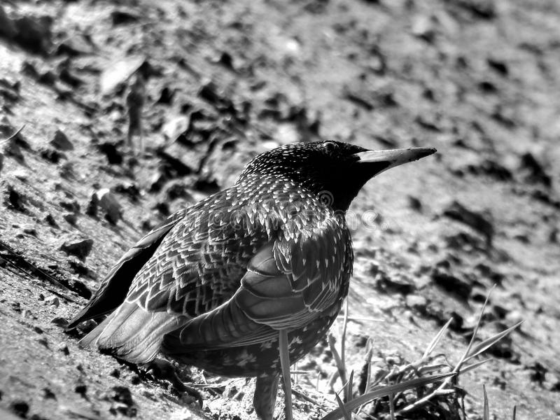 Wild forest bird thrush on black and white image. Closeup royalty free stock photo