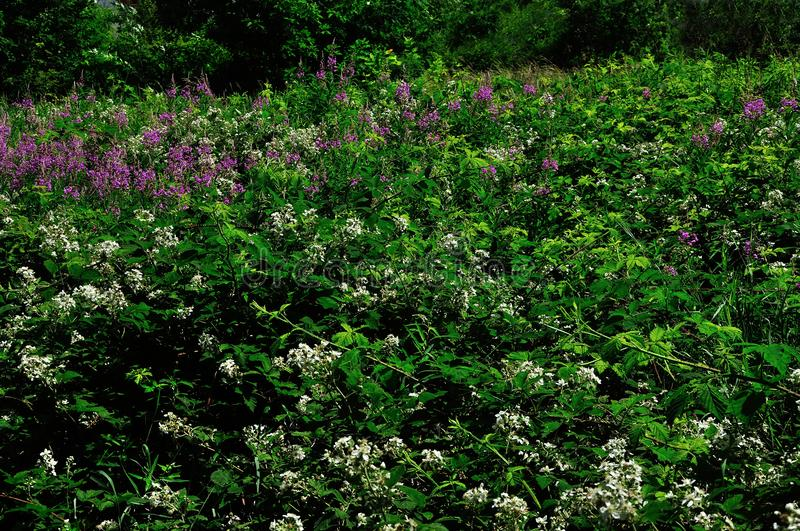 Wild forest bush with flowers royalty free stock image