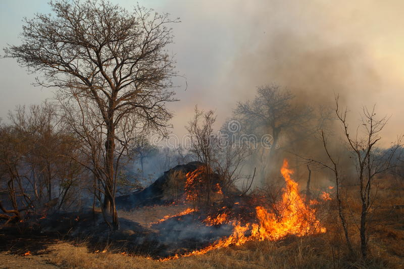 Wild Forest Fire. Uncontrolled blazes fueled by weather, wind, and dry underbrush, wildfires can burn acres of land—and consume everything in their paths royalty free stock images