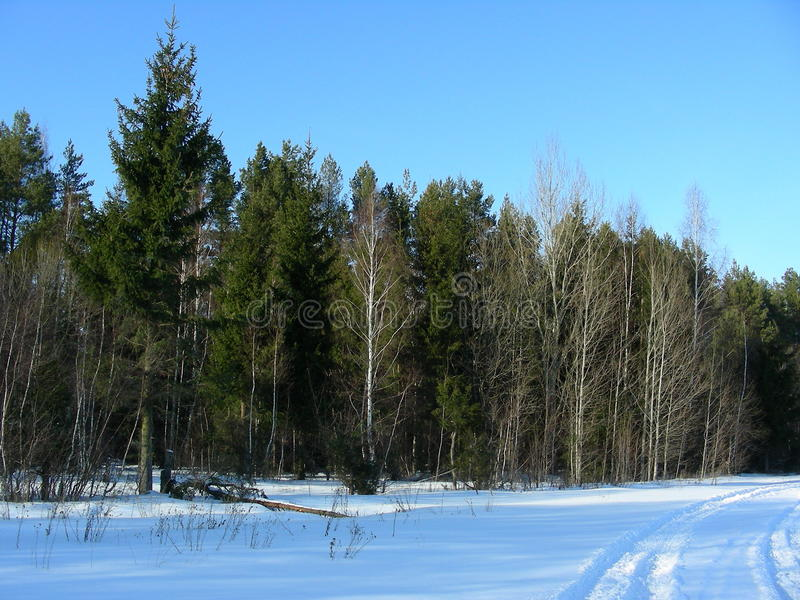Wild forest of green coniferous trees stock photos