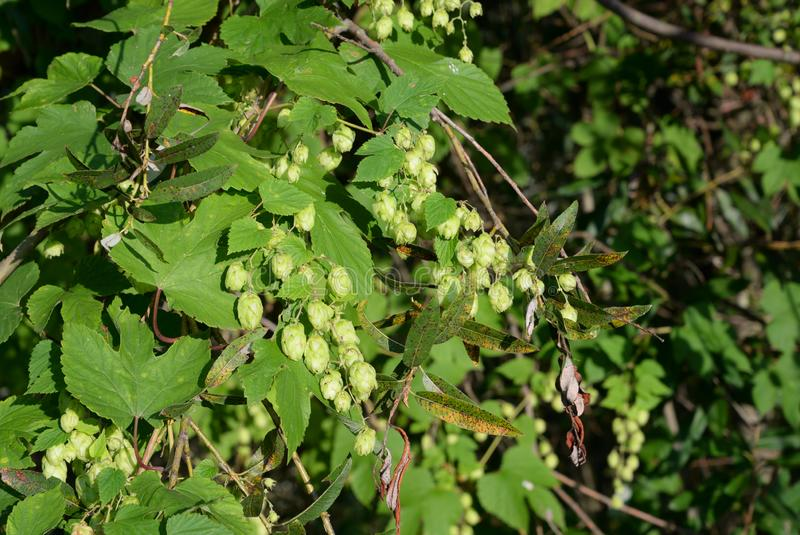 Wild forest hops stock photos