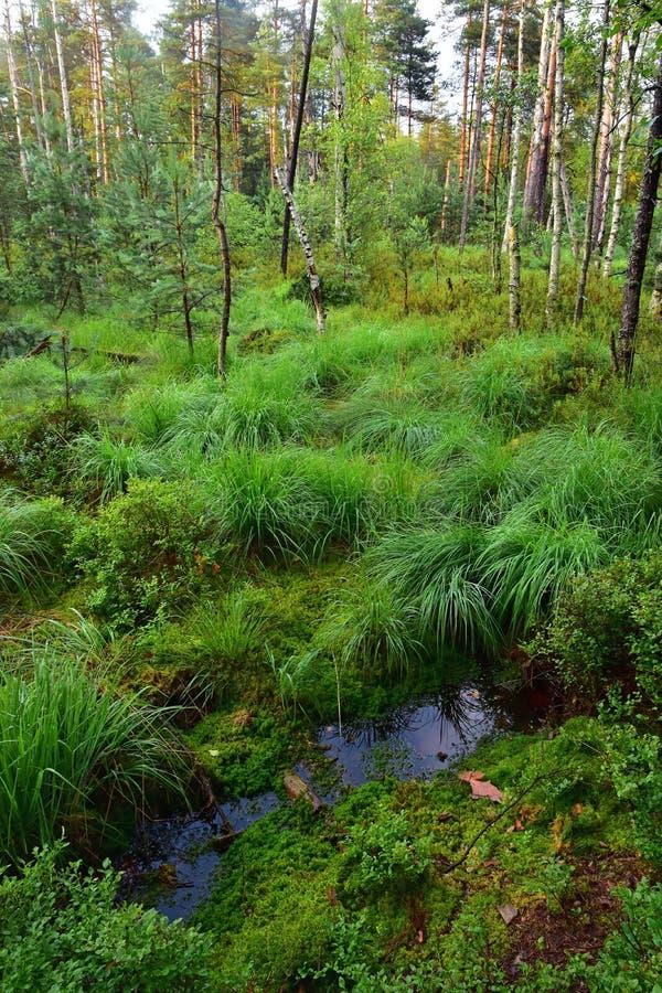 Wild forest marsh stock photos