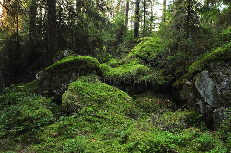 Wild forest royalty free stock images