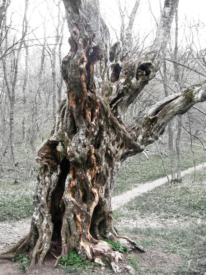 Wild forest old curvy tree natural wood strange form royalty free stock image